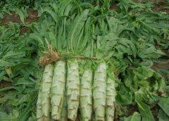 莴苣的食用和药用价值