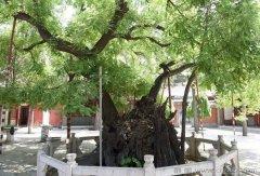 中华人文古树一百棵全名单